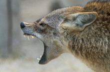 A Golden Jackal Animal In Ange...