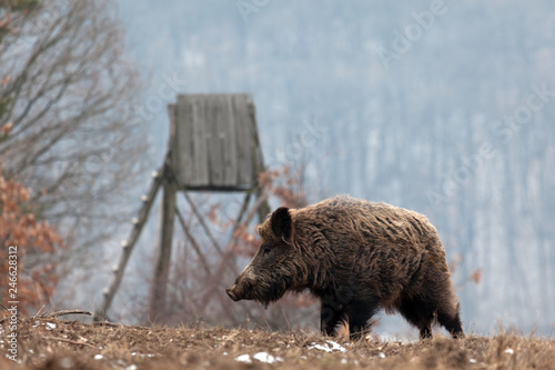 wild boar in the forest Wallpaper Mural