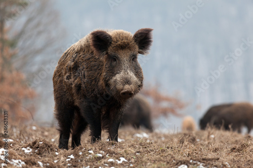 Leinwand Poster wild boar in forest