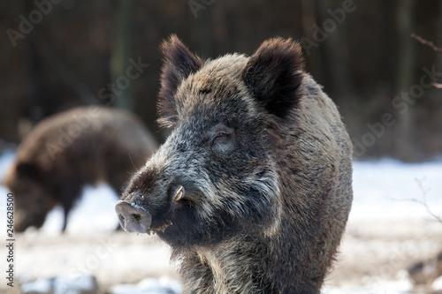 Obraz na płótnie wild boar in winter forest