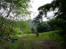 Horse And Rooster Hang Along Dirt Road In Kauai