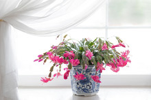 Photograph Of A Pink Blooming Christmas Cactus In A A Bright Window Sill In A Blue Porcelain Pot