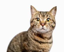 Portrait Of Beautiful Grey Cat...