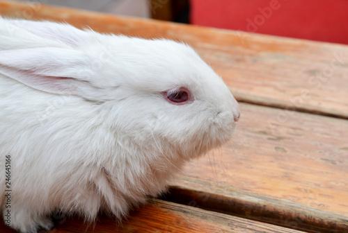Zdjęcie XXL portret białego królika