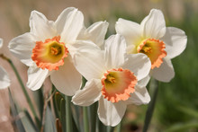 Peach Daffodil