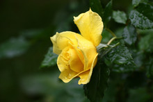 Single Bright Yellow Rose Against A Dark Background Green Leaves. In Total In Water Drops After A Rain.