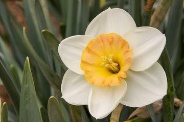daffodil cup