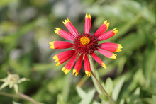 Red Flower Of Gaillardia Or Blanketflower In Garden