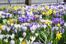 White And Purple Crocus And Da...