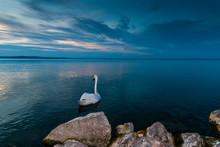 Swans On Lake Balaton At Night.