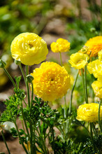 Giant Ranunculus Yellow Flowers Growing In A Field On A Sunny Day