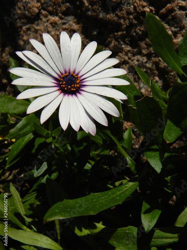 Photo Flower white african daisy