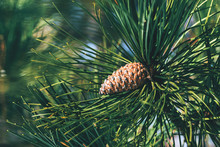 Pine Cone On Tree Branch
