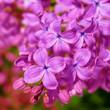 Leinwandbild Motiv discolight color  lilac blossoms on branches