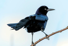 Common Grackle (Quiscalus Quiscula) On Tree Limb