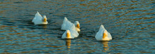Four Aylesbury Peking Ducks Swimming Towards Camera On Rippled Water Lake