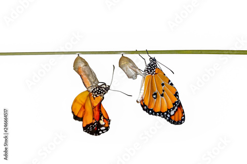 Recess Fitting Butterfly Amazing moment ,Monarch butterfly and caterpillar and chrysalis