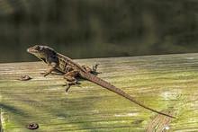 Male Florida Scrub Lizard (SCLOPORUS Woodi)