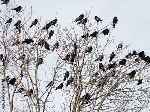 Corvus frugilegus - Colonie de corbeaux freux perchés sur de haut arbres en hive Wallpaper Mural