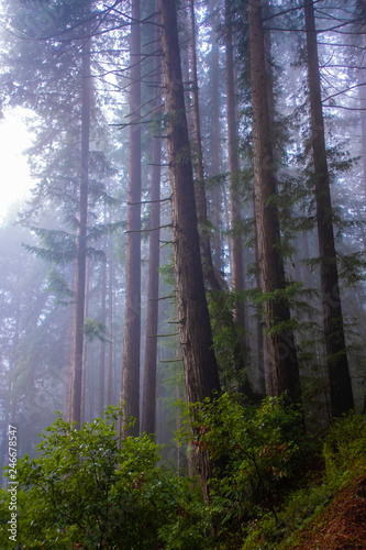 Misty redwood forest and morning light