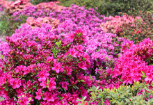 Rhododendron In Full Bloom Wit...