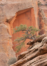 A Pinyon Pine Tree Grows From The Red Rock Sandstone Of Zion National Park.