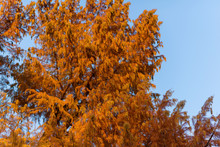 Trees With Orange Foliage Against The Blue Sky. Autumn. Foliage Changes Color. Autumn Changes. Blue Sky. Plants.