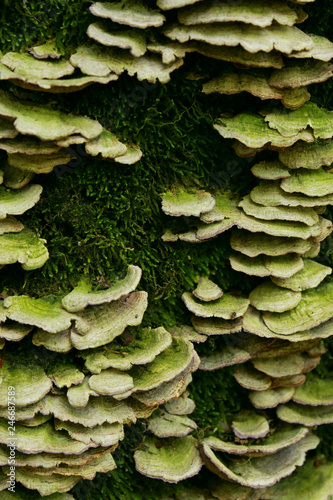 Fényképezés  Close up of Shelf fungus and moss growing on a vertical log