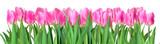 Fototapeta Tulipany -  tulips  isolated on white