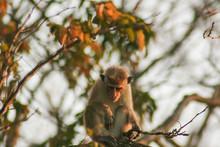 Monkey Sitting On A Brach In Udawalawe National Park In Sri Lanka, Asia.