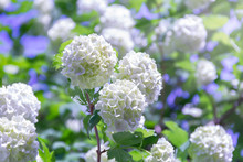 Blooming Beautiful White Flowers In The Summer Garden. Viburnum Flowering Bush On A Bright Sunny Day