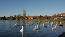 Swans And Wildlife Swimming On...