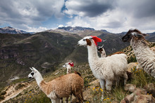Llama With Red Yarn Livestock Markers On A Mountain, Colca Canyon, Peru