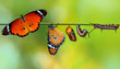 canvas print picture - Amazing moment ,Monarch Butterfly , caterpillar, pupa and emerging with clipping path