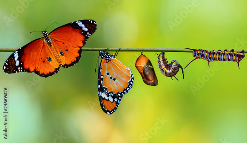 Papiers peints Papillon Amazing moment ,Monarch Butterfly , caterpillar, pupa and emerging with clipping path
