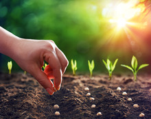 Hands Planting The Seeds Into ...