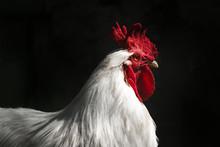 White Cock , Poultry Farm. Clo...