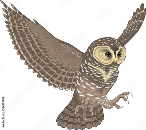 Aluminium Prints Owls cartoon Spotted Owl Flying Vector Illustration