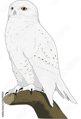 Fotografia Snowy Owl on a Tree Limb Vector Illustration