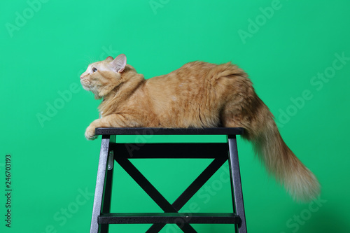 Fotografie, Obraz  Ginger Cat