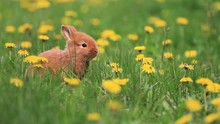 Red Rabbit Sitting Among Dandelion Flower