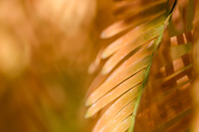 Nature Abstract: Golden Needles Of The Dawn Redwood In Autumn