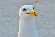 Seagull Looking Curious Close Up
