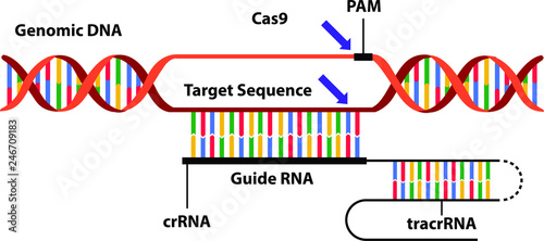Fotografia  Vector illustration of the new science technique CRISPR-Cas (clustered regularly interspaced short palindromic repeats)