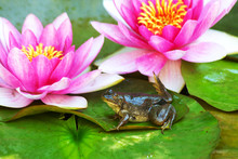 A Frog Sits On A Green Lilypad...