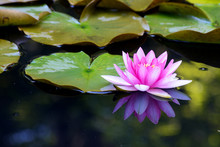 A  Frog Sits Beneath Pink Wcloseup, Frog, Water, Green, Reflection, Nature, Plant, Pond, Lilly, Summer, Pink, Lake, Blossom, Leaf, Color, Lotus, Lily, Flower, Spring, Floraterlilies  In A Small Pond..