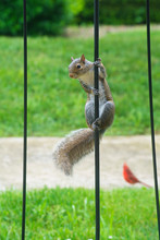 A City Squirrel Does Some Acrobats Trying To Get Food.