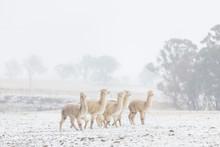 Alpacas In Snow, Australia