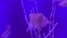 Suspicious Cuttlefish Looks In...