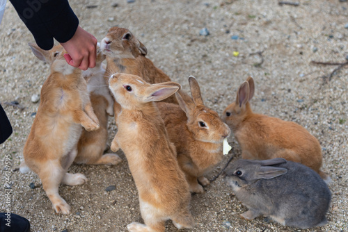 Feeding wild rabbits in winter sunny day on Okunoshima, as